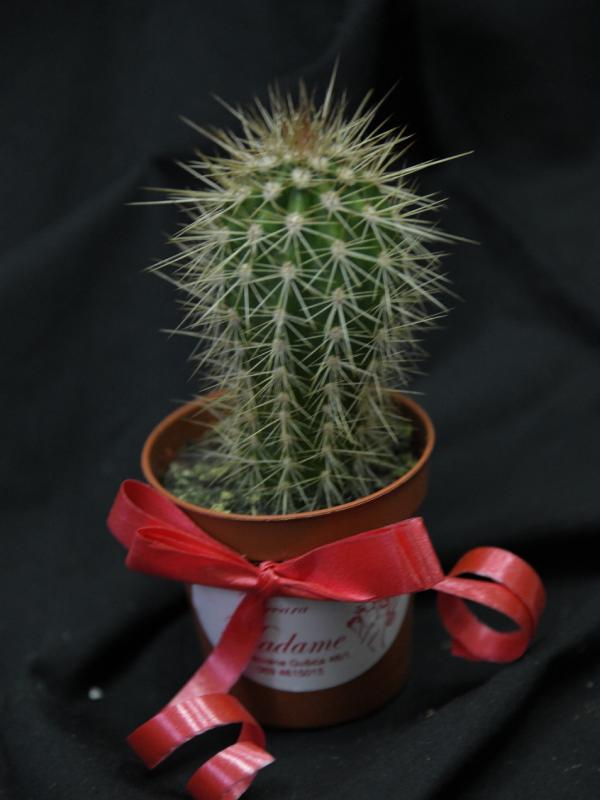 Madame Cvećara   https://cvecaramadame.rs/Mini kaktus